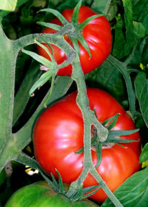 Ways to Go Green – 10 Tomato Growing Tips